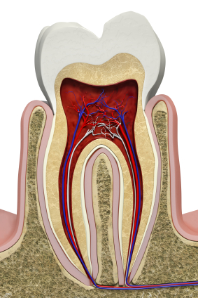 What are Premolars Used For?